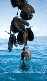 Segeln Tahiti - Tahaa Perlen Muschel