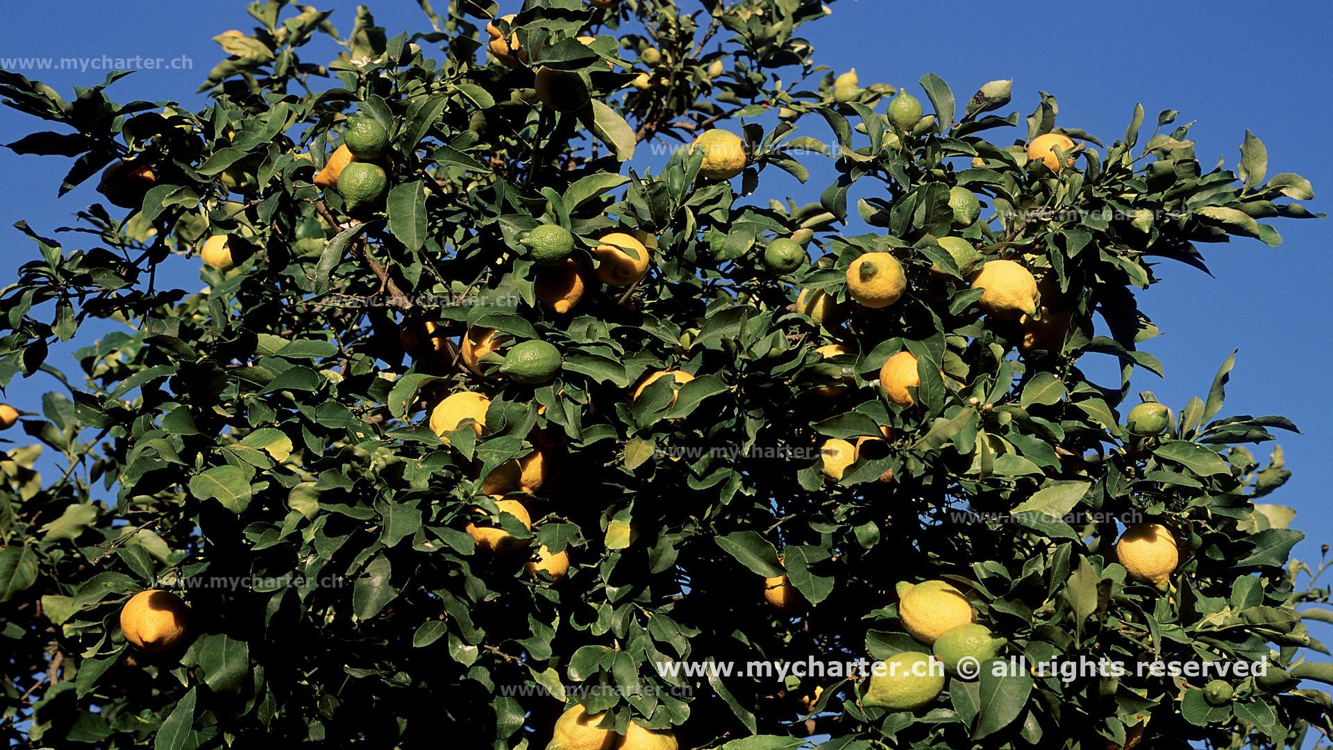 Sizilien -Zitronenbaum