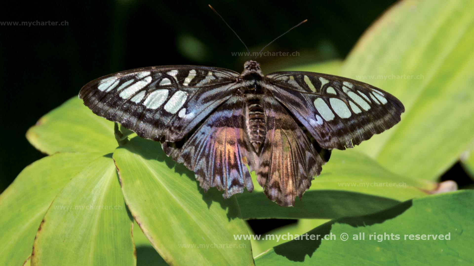 St Martin - Schmetterling