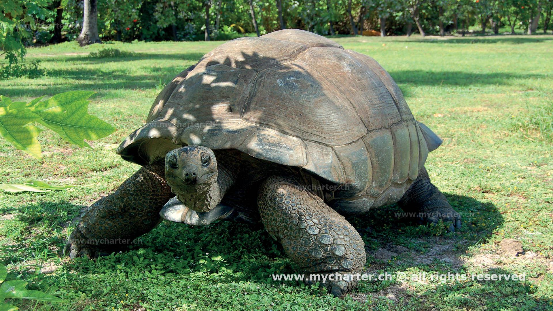 Seychellen - Giant Turtle