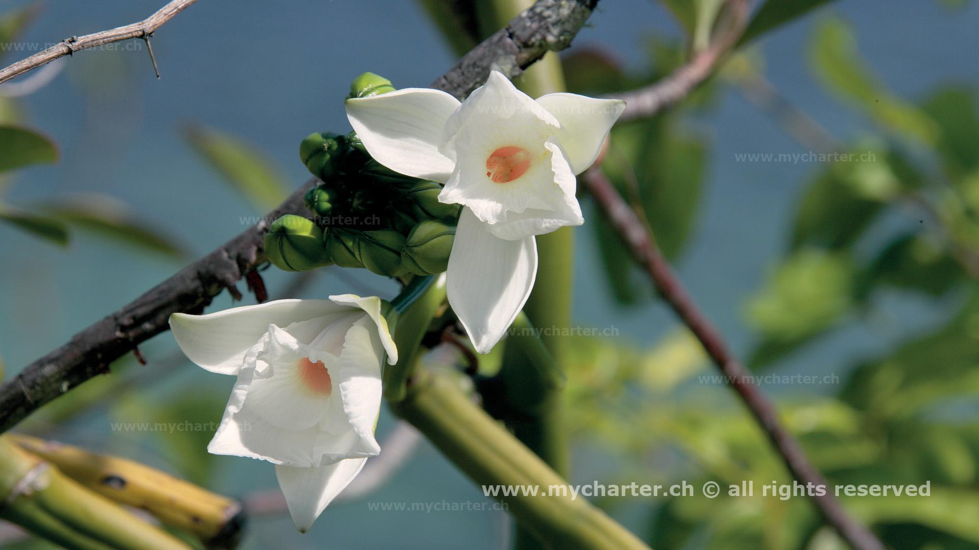 Seychellen - Vanillie-Orchidee