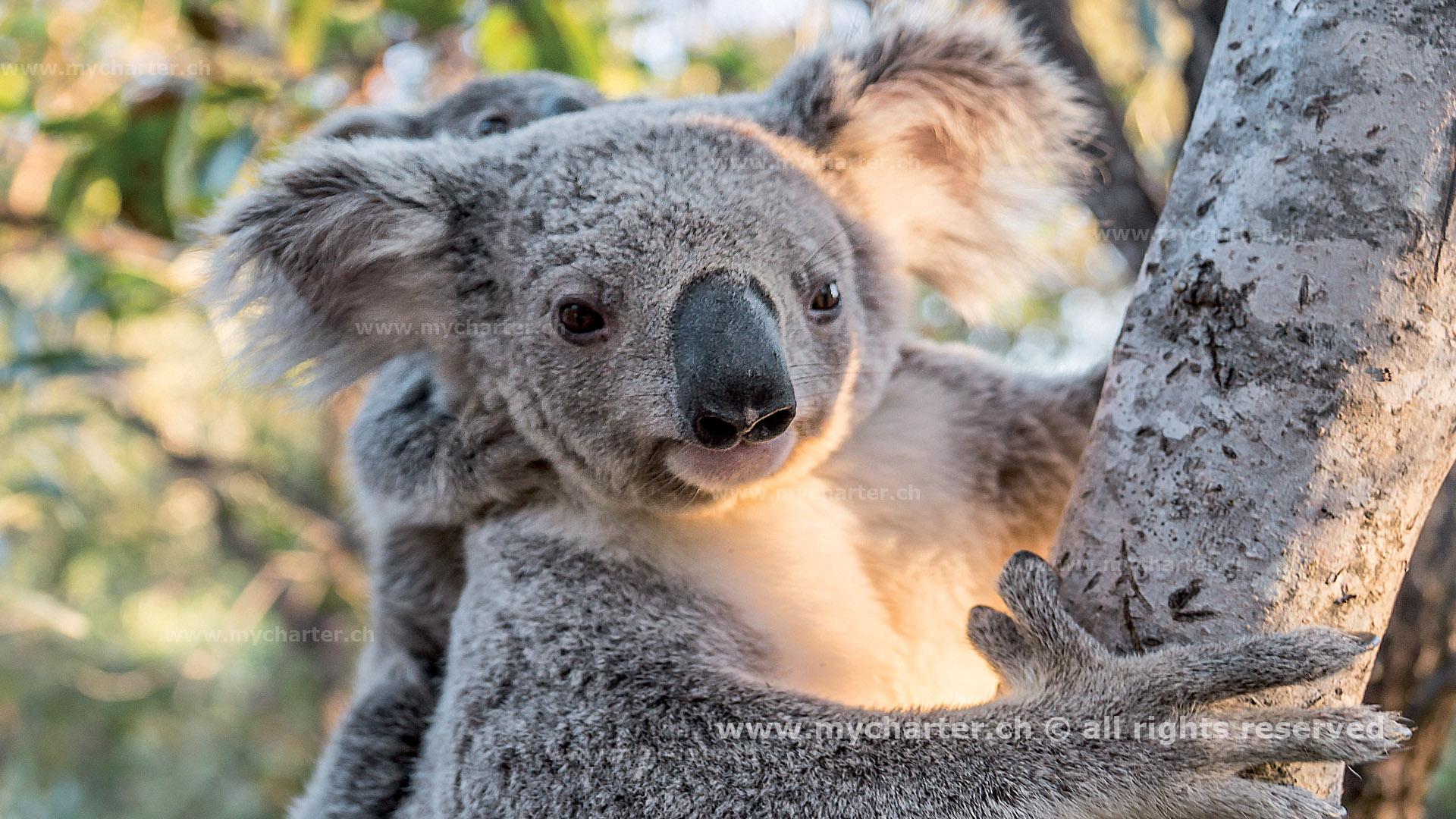Toern Australien - Koala