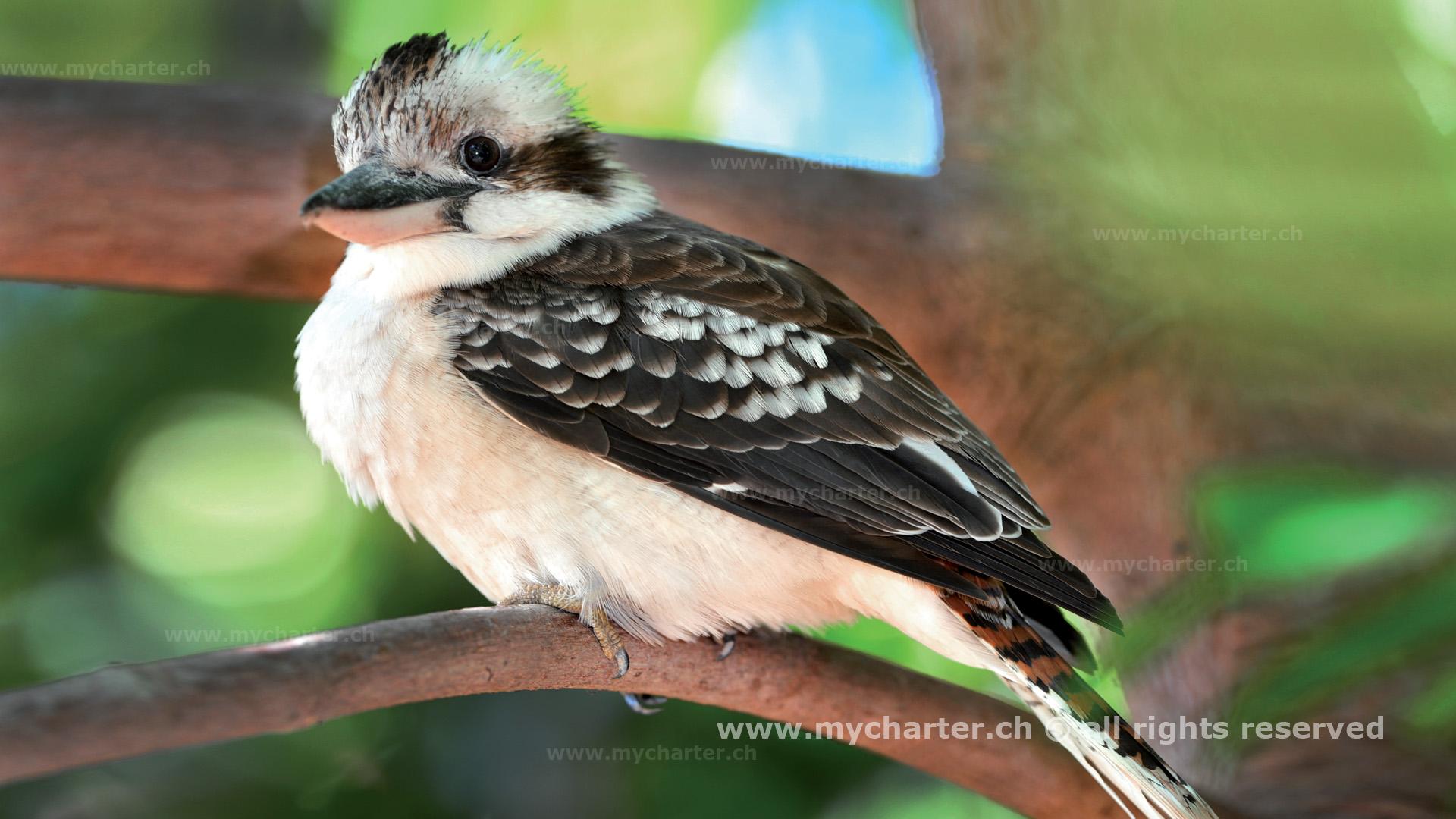 Yachtcharter Australien - Laughing Kookaburra Bird