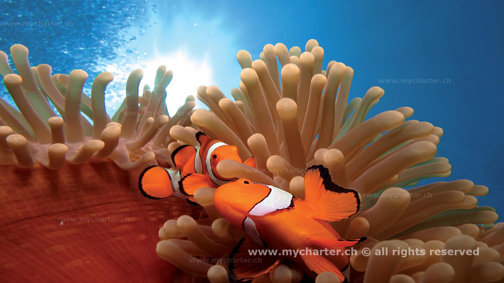 Yachtcharter Südesee - Australien - Clown Fisch