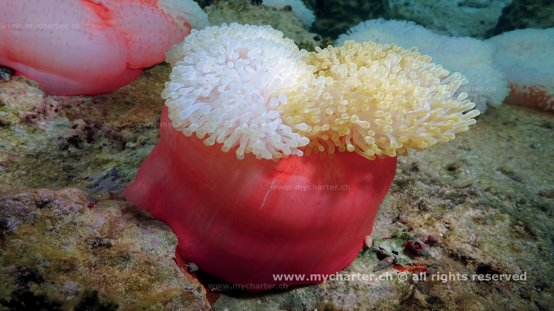 Toern Tahiti - Anemone Heceratics